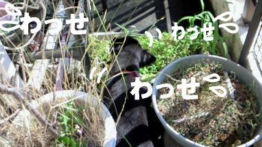 しびれ鯉5