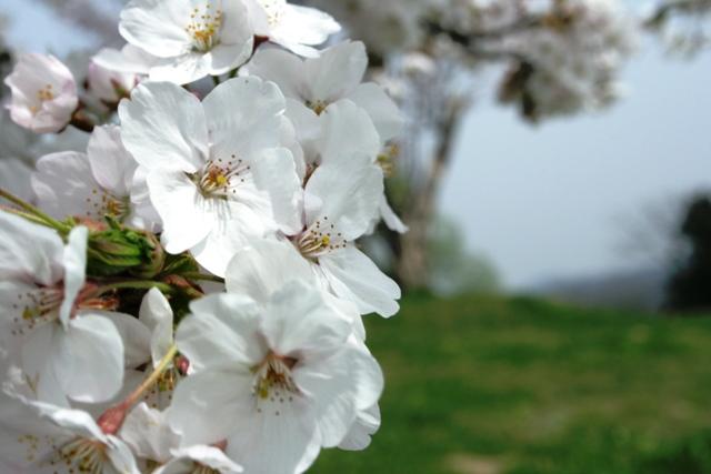 桜はやっぱりいいなぁ。