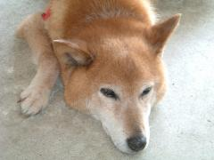 我が家の愛犬「ねね」さん