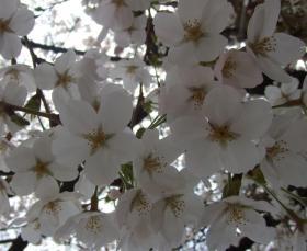 2008年3月28日桜
