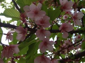 2008年3月28日葉桜