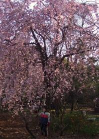 2008年4月1日しだれ桜