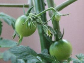 2008年5月25日トマト