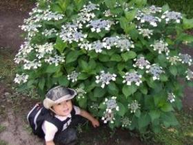 2008年6月1日白い紫陽花