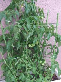 2008年6月20日トマト