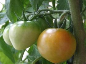 2008年6月26日トマト