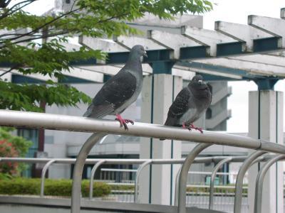 監視する鳩