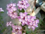 小花ランタナ2