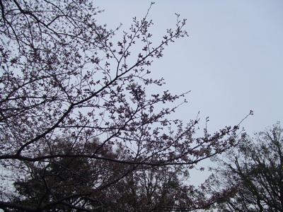 西郷山公園桜チェック