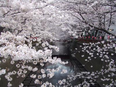 目黒川桜情報