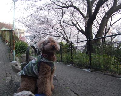 西郷山公園の桜とkuma