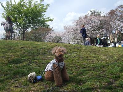 西郷山公園の桜情報