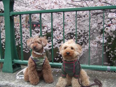 目黒川桜でkumaとJOY君