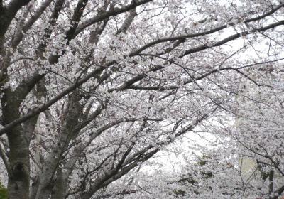 日記4・4~桜並木6