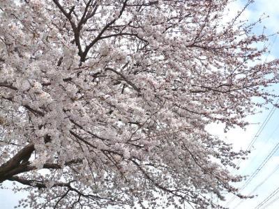 日記4・4~桜の木1