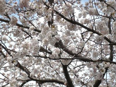 日記4.4~桜の木2