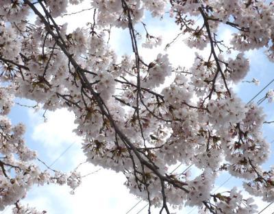 日記4・4~桜の木3