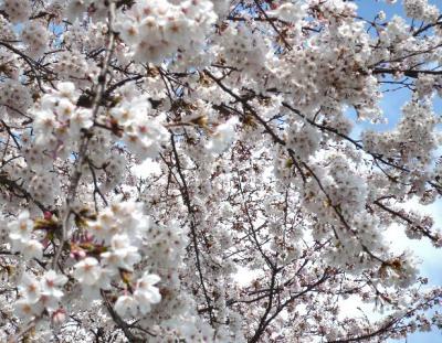 日記4・4~桜の木4