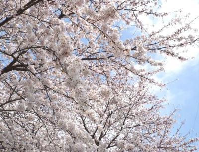 日記4・4~桜の木5