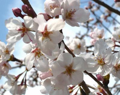 日記4・4~桜アップ1