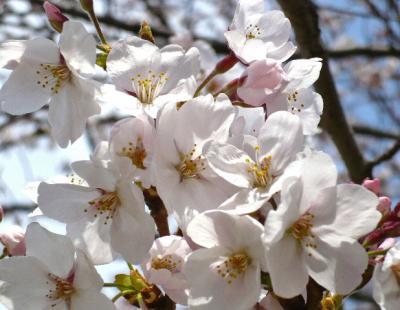日記4・4~桜アップ2