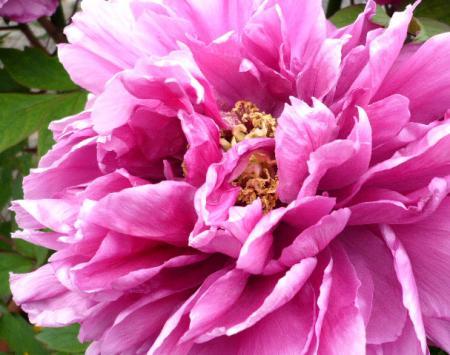 日記5・2~牡丹(紫1)