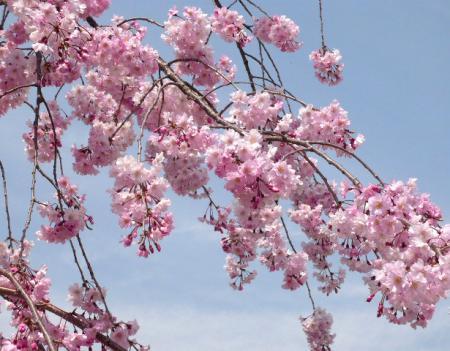 日記・しだれ桜1