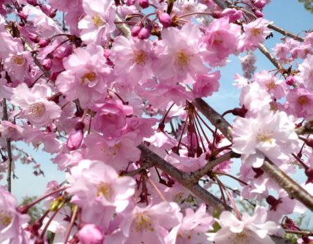 日記・しだれ桜2