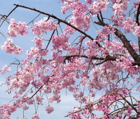 日記・しだれ桜3