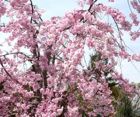 日記・しだれ桜4