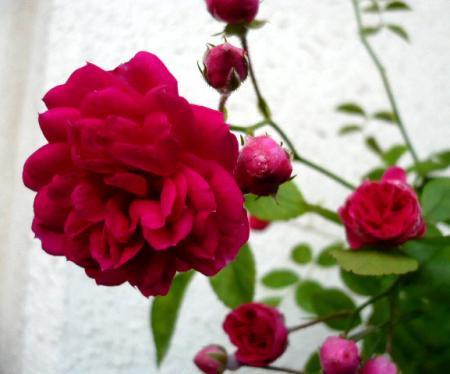 日記5・20~バラ1