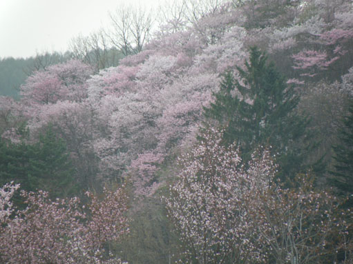 桜咲くよ☆彡