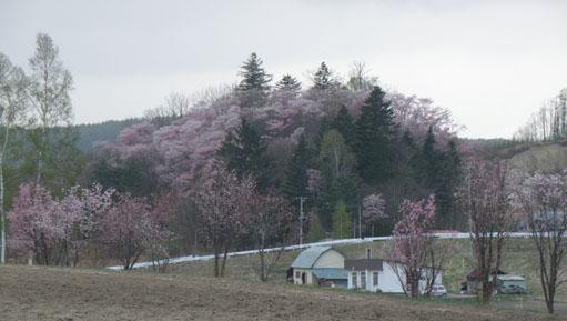 桜咲く☆彡