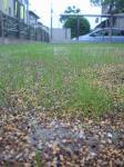 小さな芝の新芽☆