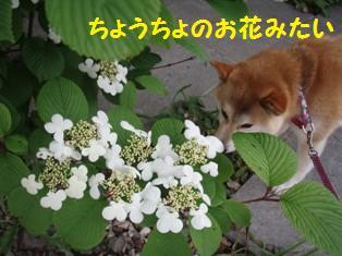 ちょうちょの花