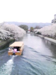 桜-岡崎疎水080403_1230~001
