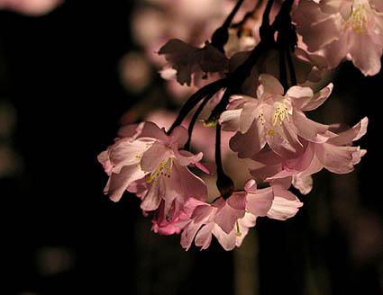 去年の夜桜。