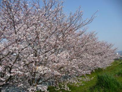8.04.06桜