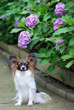 ラナと紫陽花