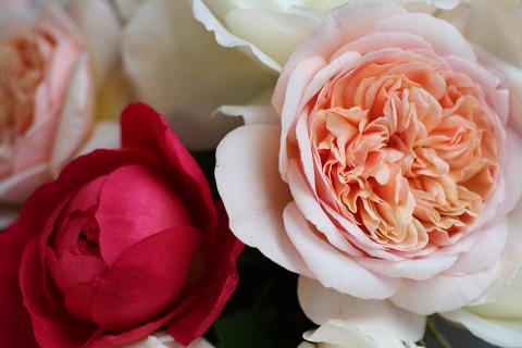 ブリままの薔薇 (2)0001
