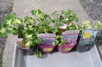 3/20 見切り品で買った植物