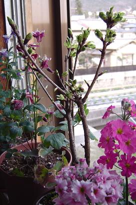 3/22 一才桜(旭山桜)