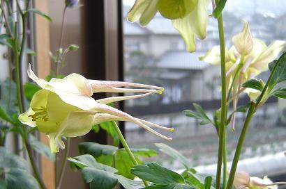 3/26 種類不明オダマキ(イエロー)