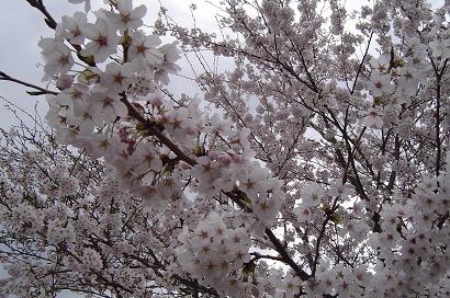 4/12 桜