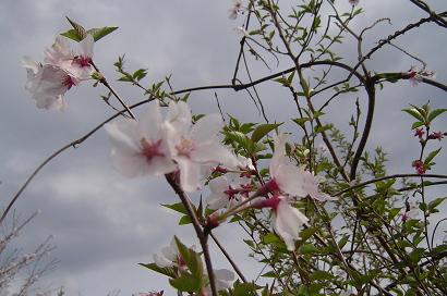 4/12 山桜?