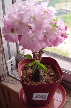 4/16 桜