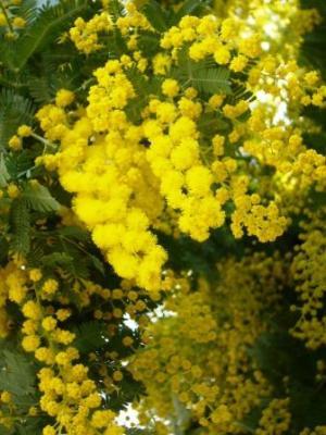 ミモザ開花
