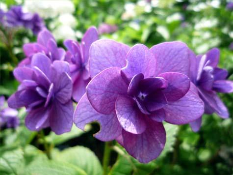 長谷寺紫陽花5