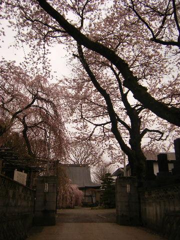 枝垂れ桜かな
