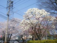 体育館駐車場の桜